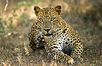 Sri Lanka. Leopard watching.