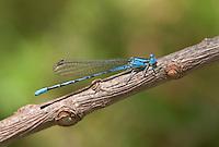 338630002 a wild male springwater dancer damselfly argia plana perches on a small stick in lockhart city park lockhart texas