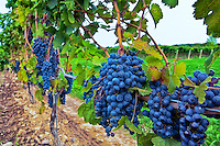 Ripe grapes on the vine at a Niagara vineyard.