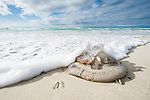 A large jellyfish lies stranded on the beach as ploughshare snails move to feed upon it, De Hoop Marine Protected Area, Western Cape, South Africa