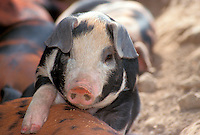 Cute black and white piglet close up with her litter mates, Missouri USA
