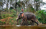 A mahout taking his Asian elephant (elephas maximus)along the river at Pak Lai, Laos.
