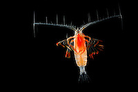 Marine Planktonic Copepod (Euchirella).