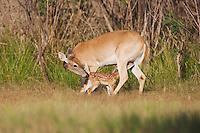 White-tailed Deer (Odocoileus virginianus), Mother with fawn suckling, Sinton, Corpus Christi, Coastal Bend, Texas, USA