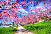 Cherry Blossoms on a bright spring day in Lausanne provide a nice pink and blue contrast to the bright green lawn.