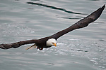 A mature Bald Eagle in flight.  As many as 2000 eagles congregate in the area along the Squamish River every year to feed on spawning salmon. Brackendale, British Columbia, Canada, December 23, 2009.  Photo by Gus Curtis