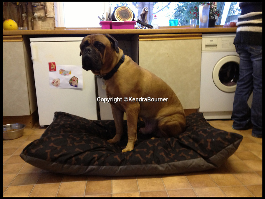 BNPS.co.uk (01202 558833)<br /> Pic: KendraBourner/BNPS<br /> <br /> *Please use full byline*<br /> <br /> Loki before his weight loss in March 2014, weighing around 150 pounds.<br /> <br /> Swim yourself thin... A greedy mastiff has swum himself into shape after staff at a hydrotherapist in Wilton, Wiltshire, hit upon the idea of a trail of cakes to encourage the portly pooch.