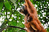 A Sumatran orangutan (Pongo abelii) mother and child swing between trees in Gunung Leuser National Park in Northern Sumatra.