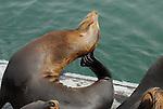 California sea lion scratching neck at Santa Cruz Muni Wharf