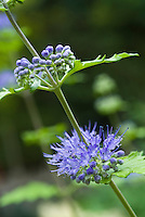Caryopteris flower closeup