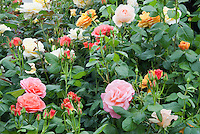 Mixture of roses growing in garden