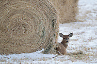 Whitetail deer (Odocoileus virginianus) fawn lying near hay bale in early winter