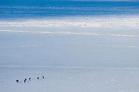 Adelie Penguins walking across sea ice near Cape Royds, Antarctica.