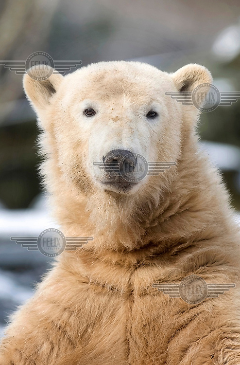 Knut, a polar bear cub who was rejected by his mother at birth and subsequently raised by zookeepers at the Zoologischer Garten in Berlin.