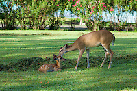 Doe and fawn at Caneel Bay Resort.Virgin Islands National Park.St. John.U.S. Virgin Islands