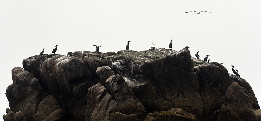 THE ISLES OF SCILLY SEABIRD RECOVERY PROJECT. SEABIRD COLONIES OFF THE COAST OF ANNET. 17/06/2015. PHOTOGRAPHER CLARE KENDALL.
