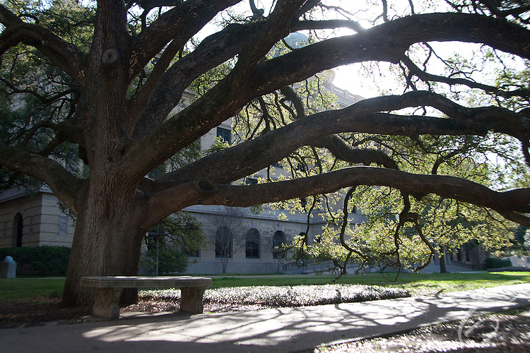 Texas A&M's Century Tree is a popular place on campus for engagements.