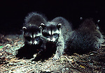 young raccoons in forest