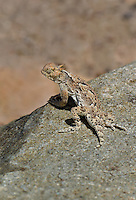 437800008 a wild southern desert horned lizard phrynosoma platyrhinos calidiarum suns on a large rock in mono county california