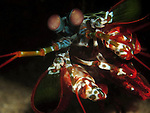 Kenting, Taiwan -- Encounter with a mantis shrimp.<br />