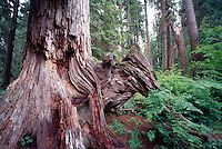 Dead Tree Trunk and Root in Temperate Rainforest, Pacific West Coast, Vancouver Island, BC, British Columbia, Canada