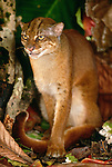 Bornean red or bay cat, Borneo, Indonesia
