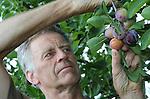 Foto: VidiPhoto<br /> <br /> DRIEL - Fruitteler Piet van Bentum plukt donderdag vroege opal, een pruimensoort  die -zoals de naam al aangeeft- vroeger geoogst kan worden dan de andere rassen. Ondanks het koude voorjaar is de pruimenoogst nauwelijks later dan gemiddeld. Bovendien wordt er een goede oogst verwacht. Van Bentum heeft een halve hectare aan pruimenbomen, maar vrijwel alle rassen zijn er vertegenwoordigd.