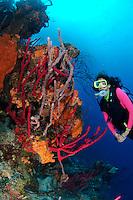 nr0452-D.  scuba diver Melissa Cole (model released) admires coral reef ablaze with sponge colors.  red Erect Rope Sponges (Amphimedon compressa), Orange Elephant Ear Sponge (Agelas clathrodes), Lavendar Rope Sponge (Niphates erecta). Belize, Caribbean Sea.<br /> Photo Copyright &copy; Brandon Cole. All rights reserved worldwide.  www.brandoncole.com