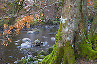 Oak Tree, (Quercus robur) The Elan Valley, Rhayader, Mid-Wales, UK          ROBLE, VALLE DE ELAN, RHAYADER, GALES MEDIO, REINO UNIDO