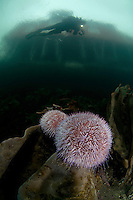 Under the house, sea urchin, Klas Malmberg.Atlantic marine life, Saltstraumen, Bodö, Norway.Model release by photographer