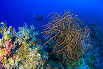 Seascape with diver approaching large brown soft coral bush, Southern Egyptian Red Sea