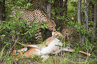 A group of cheetah's feast on a meal of a Red lechwe, Botswana, Africa