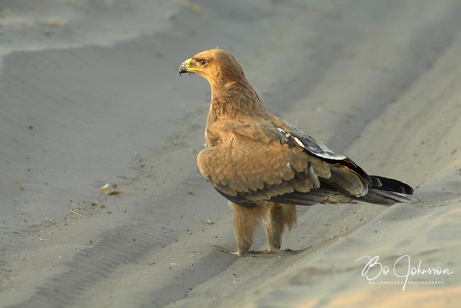 A tawny eagle (aquila rapax) taking a walk on the main road.<br /> Savuti, Botswana.<br /> September 2007.
