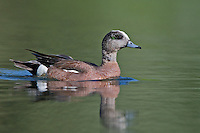 American Wigeon swimming on a pond on a sunny morning