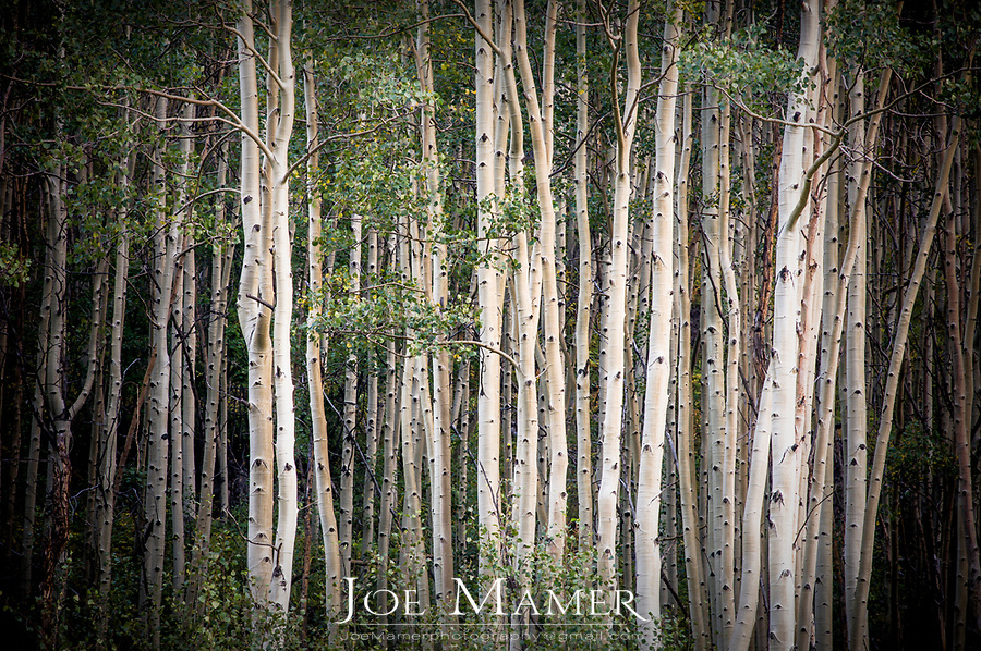 Aspen grove in the Maroon Bells Scenic Area near Aspen, Colorado.