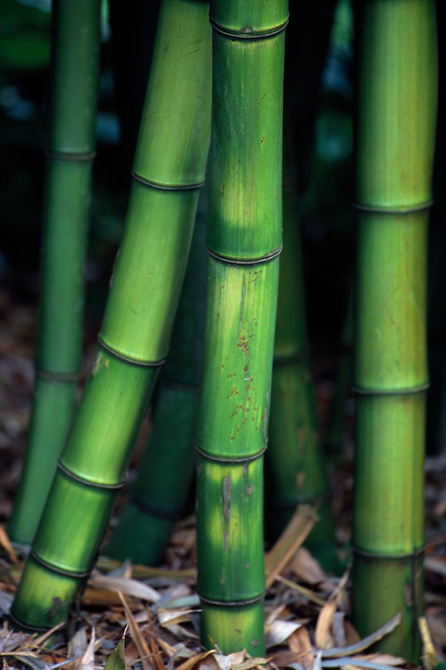 Ground-level view through thick stalks of green bamboo,  Stanley Park, Vancouver, BC