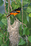 Baltimore Oriole (Icterus galbula) male perched at its nest, New York, USA<br /> Slide # B166-164