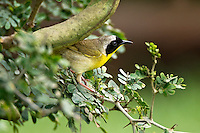 Common Yellowthroat on Texas Ebony