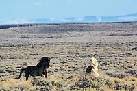 Mustang Stallions, Farson, Wyoming