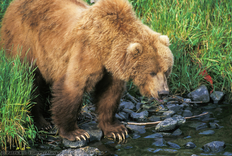 Female Kodiak brown bear fishes along stream edge, Kodiak, Alaska