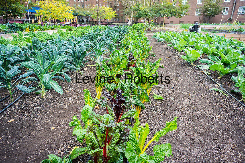 Swiss Chard growing at the Red Hook Houses urban farm in Brooklyn in New York on Saturday, October 19, 2013. The 1 acre farm is located within NYC Housing Authority's Red Hook Houses housing project and provides fresh produce as well as job training and education for the residents. (© Richard B. Levine)