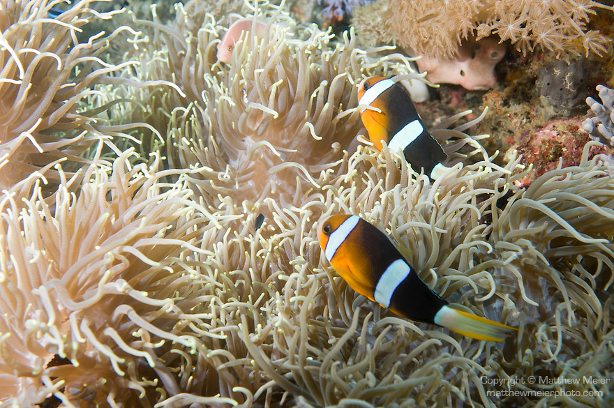 Anilao, Philippines; two adult Clark's Anemonefish (Amphiprion clarkii)  and one Pink Anemonefish (Amphiprion perideraion) swimming in their Leathery Sea Anemone (Heteractis crispa)