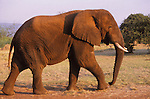 African elephant at Akagera National Park