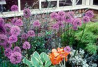 Allium 'Globemaster' with parrot tulip Tulipa, Acer palmatum, Hosta in front of house brick wall corner and windows