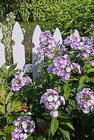 Phlox paniculata in bloom in garden with fence