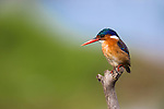 Malachite kingfisher, Alcedo cristata, Intaka Island, Cape Town, South Africa, February 2013