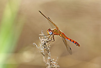 362750002 a wild male spot-winged meadowhawk sympetrum signiferum perches on a dead plant along empire ranch creek in las cienegas natural conservation area pima county arizona united states...GPS: N 31.85278; W -110.67806