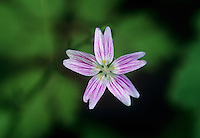 183870002 a wild spring beauty wildflower claytonia lanceolata is a rainforest wildflower with a tiny pink and white flower seen here in the columbia river gorge national scenic area in oregon
