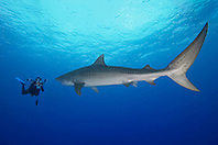 large tiger shark, Galeocerdo cuvier, and woman scuba diver with underwater video housing, Little Bahama Bank, Grand Bahama, Bahamas, Caribbean Sea, Atlantic Ocean, Model Released - MR-000053