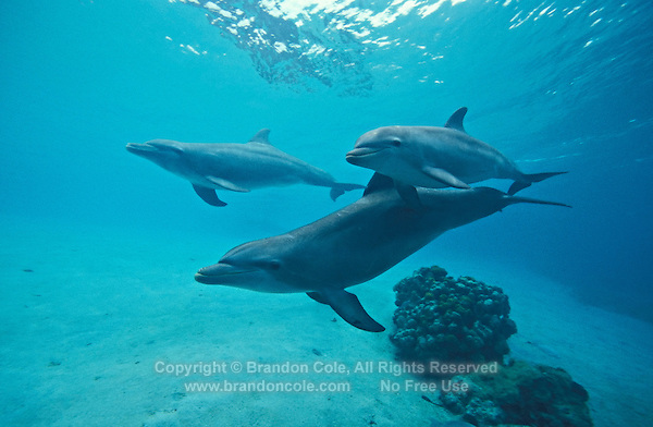 Bottlenose dolphins swimming underwater - photo#18